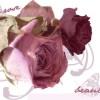 11. Roses -fedora_girl